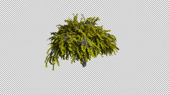 Thumbnail for Shrub On The Wind Isolated 2 (Strong wind)