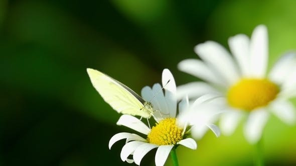 Thumbnail for White Butterfly On a Flower