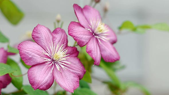 Thumbnail for Clematis Flowers 1