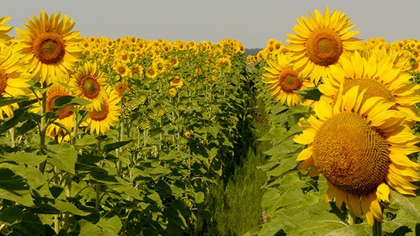 Thumbnail for Beautiful Blooming Field Of Sunflowers