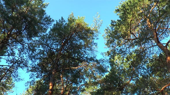 Thumbnail for The Tops of the Pines