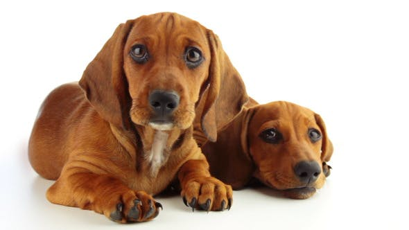 Thumbnail for Two Dachshund Puppy on a White Background