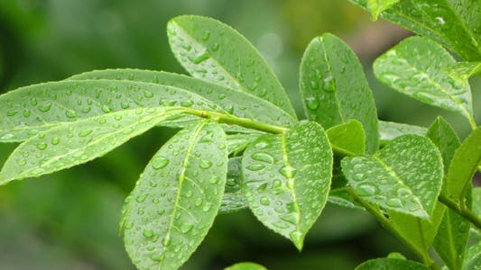 Thumbnail for Raindrops on Green Plant Leaves