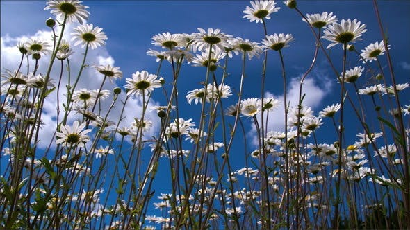Thumbnail for Long Stalks of Daisies on the Field on a Morning