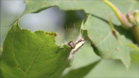Thumbnail for Brown Caterpillar Crawling on the Leaf