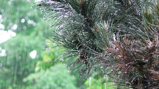 Thumbnail for The Rain and Tree Plant Leaves