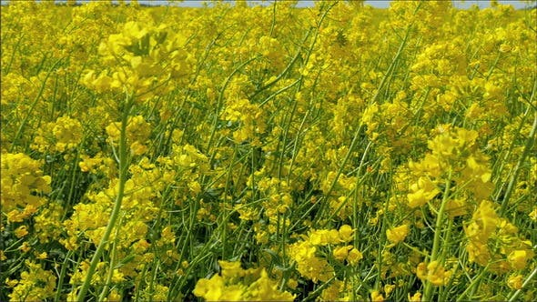 Thumbnail for Waving Rapeseed or Brassica Napus Plant