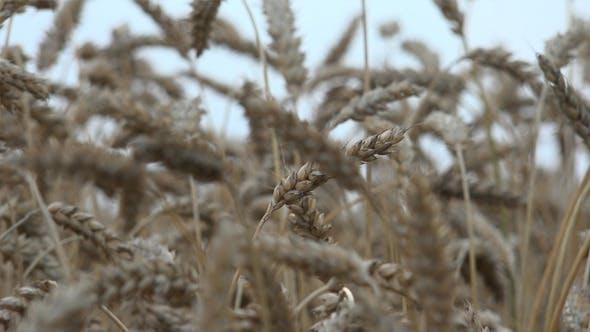 Thumbnail for Wheat Ears 3