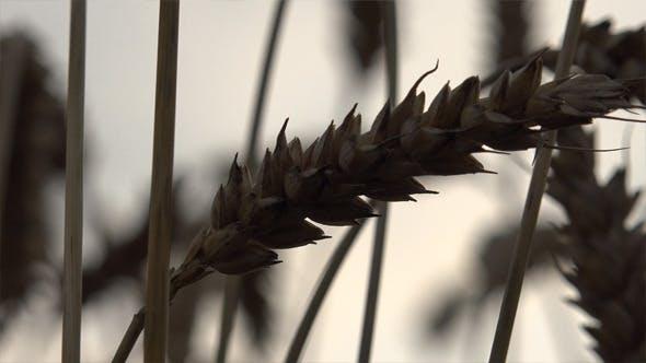 Thumbnail for Wheat Ears 5