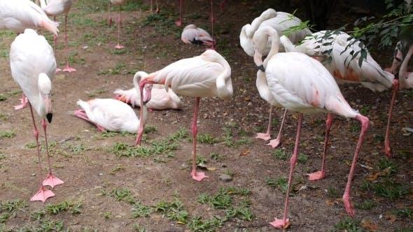 Thumbnail for Pink Flamingos In Malaysian Bird Park