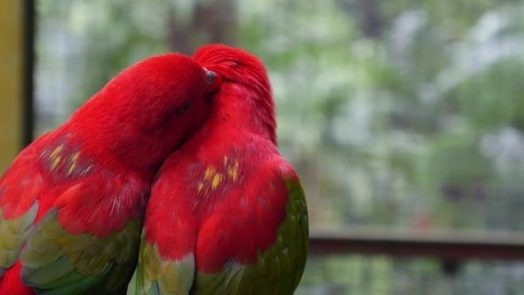 Thumbnail for Birds In Love: Pair Of Cute Parrots Kissing