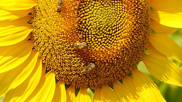 Thumbnail for Bee Collects Pollen In Sunflower