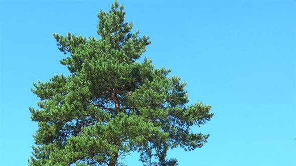 Thumbnail for Pine on a Background of Blue Sky