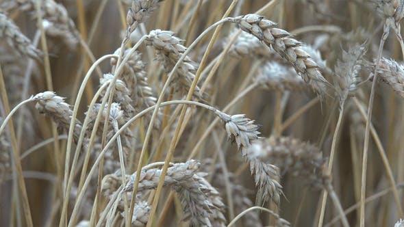 Thumbnail for Wheat Ears 11