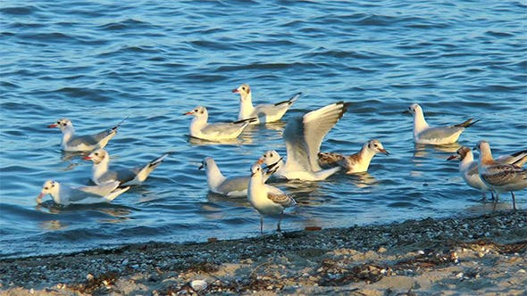 Thumbnail for Gulls on the Beach Fight for Food