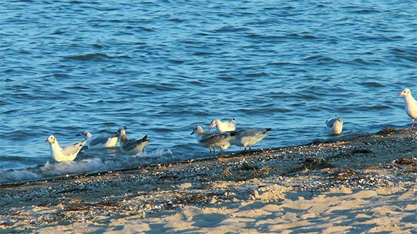 Gulls on the Beach in Search of Food