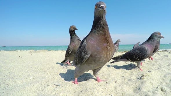 Thumbnail for Pigeons on the Sandy Beach