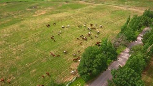 Many Horses Grazing