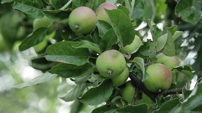 Apples On Apple Tree Branches