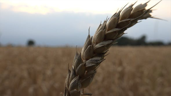 Thumbnail for Wheat Ears 19