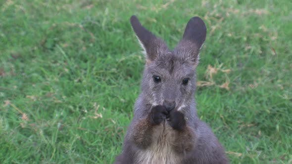 Thumbnail for Close up from a baby kangaroo cleaning his head