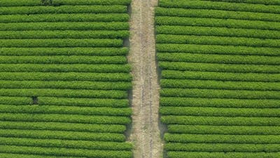 Top shot of a drone. A panoramic view of a wide green tea field