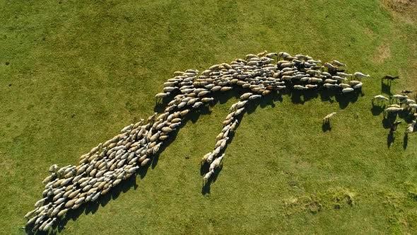 Thumbnail for Sheep Herd