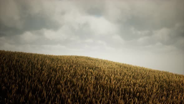 Thumbnail for Dark Stormy Clouds Over Wheat Field
