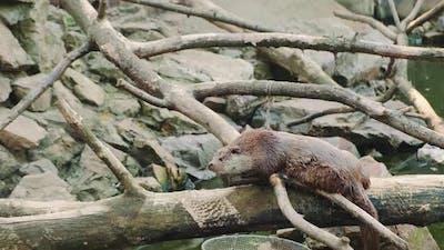 Wet Otter Lying on a Cut Tree