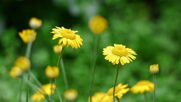 Marguerite jaune 1