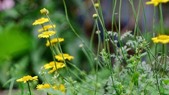 Marguerite jaune 2
