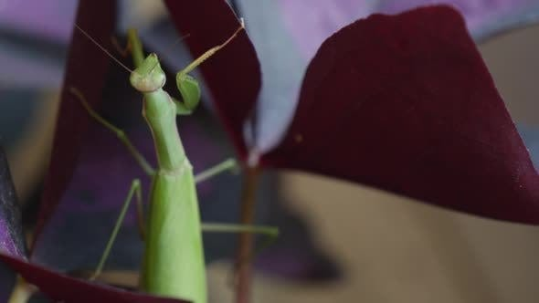 Thumbnail for Mantis is Climbing Slowly on Violet Leaf Mantis