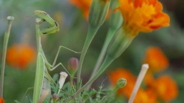 Thumbnail for Green Mantis Praying Mantis Mantis Religiosa