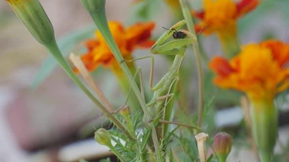 Thumbnail for Green Mantis Praying