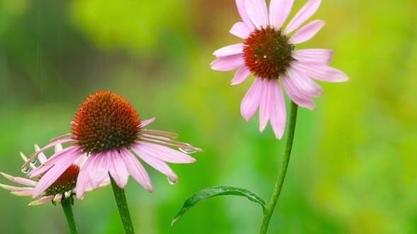Thumbnail for Echinacea Flowers In Rain