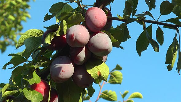 Thumbnail for Ripe Plums on a Branch