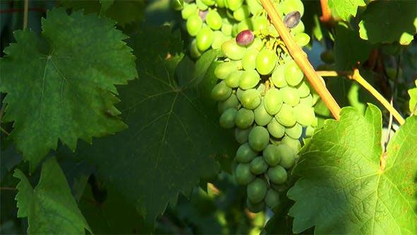 Thumbnail for Brush Unripe Grapes