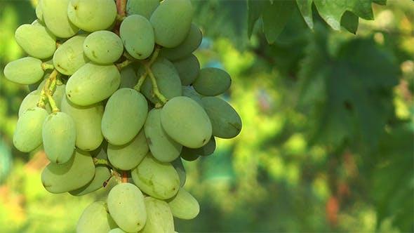 Thumbnail for Large Green Grape Berries
