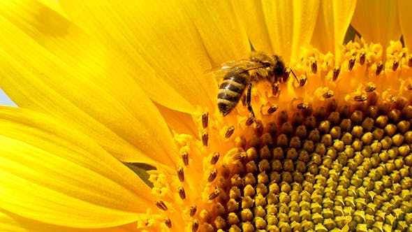 Cover Image for Bee Collects Pollen In The Sunflower