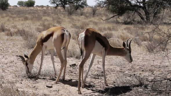 Portrait of springbok antelope grazing in kgalagadi national Park, Namibia