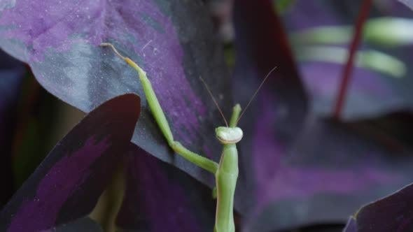 Thumbnail for Mantis Religiosa is Climbing to The Violet Leaves