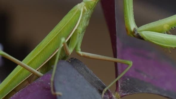 Thumbnail for Mantis Religiosa Legs Sitting