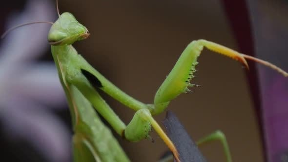 Mantis Religiosa is Not Moving