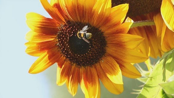 Thumbnail for Bee in a Sunflower 2