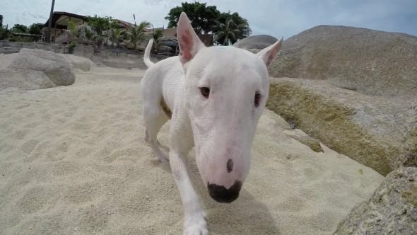 Thumbnail for Miniature Bull Terrier Dog Playing On The Beach