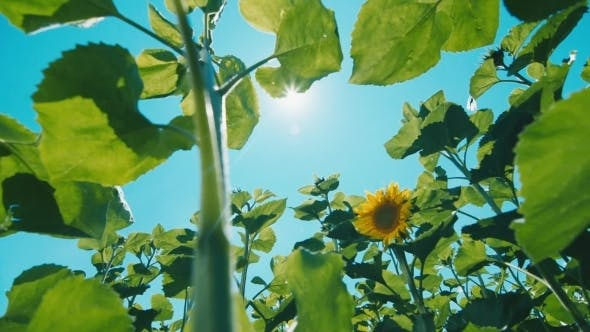 Cover Image for Sunflower Against The Blue Sky With Glare From The