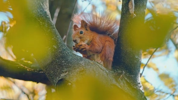 Thumbnail for Squirrel On Tree Eating a Nut