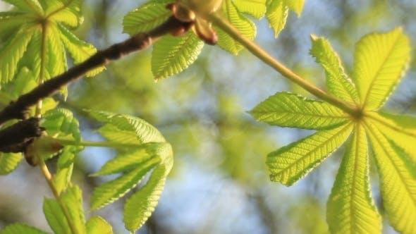 Thumbnail for Flower Spring Blossoming Chestnut Tree Flowers