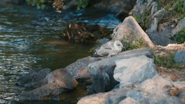 Cover Image for Gull Chick Is Sitting On The Rocks Near The River