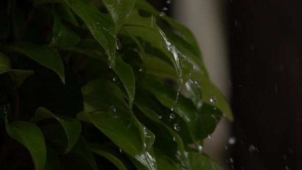 Thumbnail for Water Drops Falling On Leaves